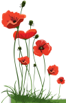 poppies red- poemas frases y pensamientos (1)