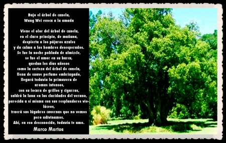 ARBOL DE CANELA MARCO MARTOS  -